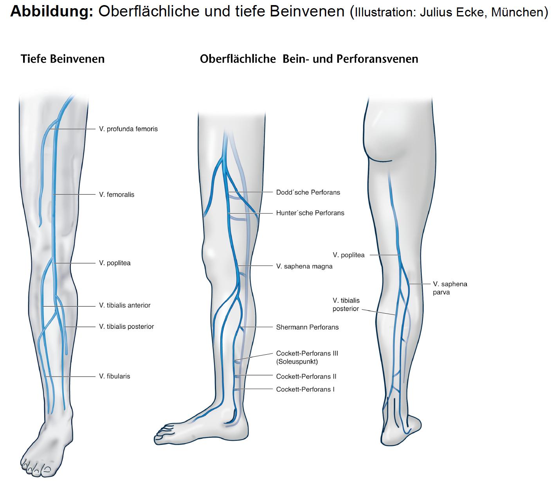 Groß Venen In Unterschenkel Bilder - Menschliche Anatomie Bilder ...